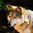 Stock Photo: MexicGray wolf