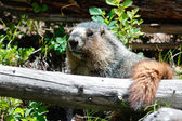 Yellow bellied Marmot — Stock Photo