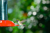 Hummingbird — Foto de Stock