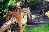 Malayan Tiger — Stock Photo