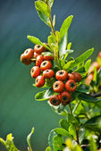 Chinese firethorn — Stock Photo