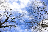 Birches in winter with natural blue sky. — Stock Photo