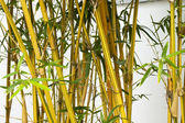 Bamboo forest background. — Stock Photo