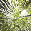 Green Bamboo Forest for background — Stock Photo