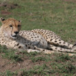 Stock Photo: Cheetah laying