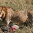 Stock Photo: Male lion with prey