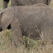Stock Photo: Elefant cub