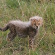 Cheetah cub — Stock Photo #2777631