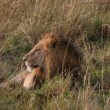 Male lion laying in the grass — Stok fotoğraf