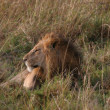 Male lion laying in the grass — ストック写真