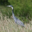 Heron with Fish — Foto de stock #2777736