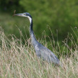 Stock Photo: Heron with Fish
