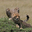 Cheetah stretching - Stock Photo