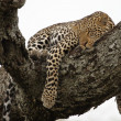 Royalty-Free Stock Photo: Leopard in the tree