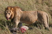 Male lion with prey — Stock Photo