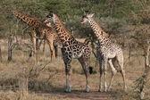 żyrafy — Zdjęcie stockowe