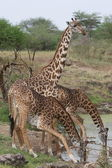 Girafes — Photo