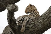 Leopard in the tree — Stock Photo