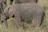 Elefant-cub — Stockfoto