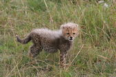 Cheetah cub — Foto de Stock