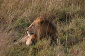 Male lion laying in the grass — Stock Photo