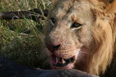Male lion head with prey — Stock Photo