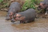Hippos — Stockfoto