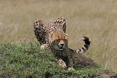 Cheetah stretching — Stock Photo