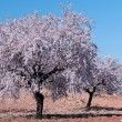 Almond Tree in Bloom — Stock Photo