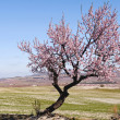 Lone Almond Tree in Bloom — Stock fotografie