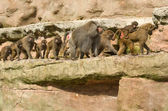 Family of Baboons walking — Stock Photo