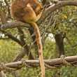 Tree Kangaroo - Stock Photo