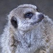 Royalty-Free Stock Photo: Closeup of a Meercat