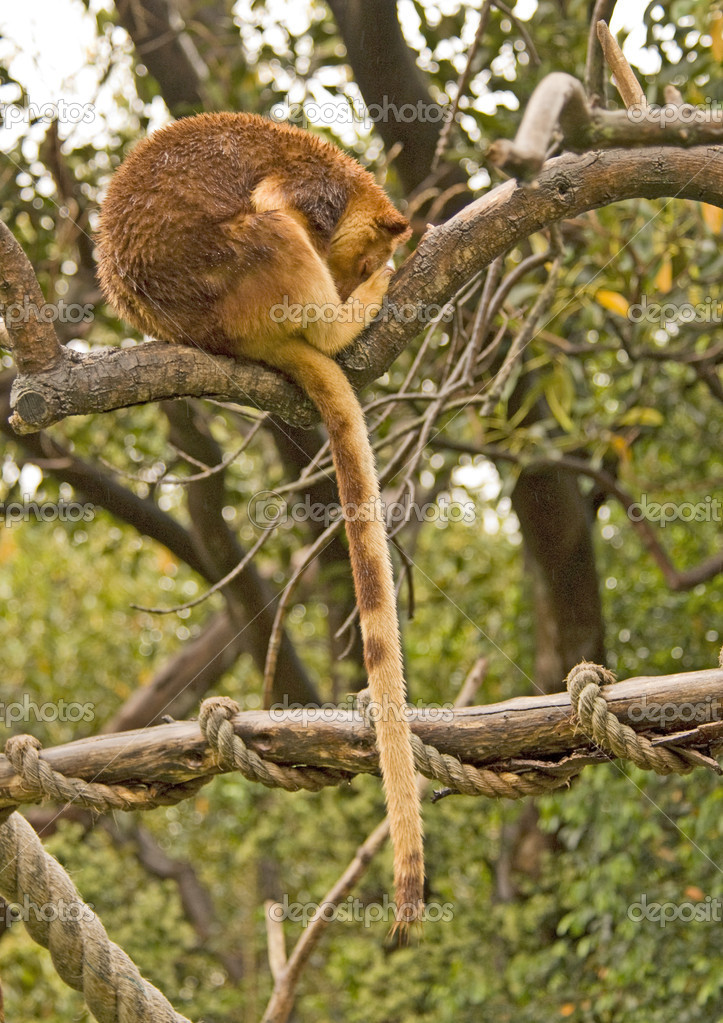 Tree Kangaroo Sleeping on a branch — Stockfoto #2841591