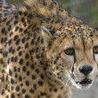 Closeup of a Cheetah — Stock Photo