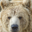 Closeup of a Brown Bear — Stock Photo #2898903