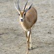 Stock Photo: Dorcas Gazelle Walking
