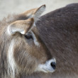 Stock Photo: Closeup of Gazelle