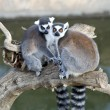Closeup of two Ring Tailed Lemur - Stock Photo