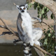 ring tailed lemur&quot — Stock Photo #2899049