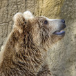 Closeup of a Brown Bear — Stock Photo #2899282