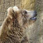 Closeup of a Brown Bear — Stock Photo