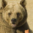 Stock Photo: Closeup of a Brown Bear Eating