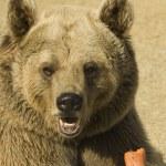 Closeup of a Brown Bear Eating — Stock Photo