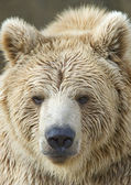 Closeup of a Brown Bear — Stock Photo