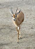 Dorcas Gazelle Walking — Stock Photo