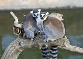 Closeup of two Ring Tailed Lemur — Stock Photo