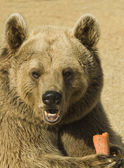 Closeup of a Brown Bear Eating — Stock Photo