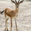 Stock Photo: Young Gazelle