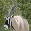 Stock Photo: Scimitar Horned Oryx